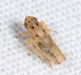 Painted Leafhopper - Endria inimica
