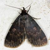 8334 – Glossy Black Idia Moth – Idia lubricalis