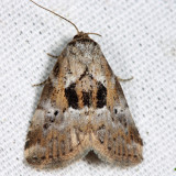 9040 - Black-patched Graylet - Hyperstrotia secta
