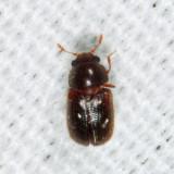 Sphindus sp.
