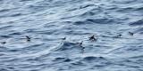 Wilson's Storm-Petrel - Oceanites oceanicus