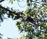 Mississippi Kite - Ictinia mississippiensis