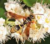 Saygorytes phaleratus