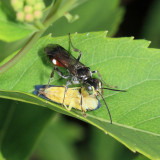 Alysson oppositus (with leafhopper prey)