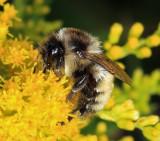 Tricolored Bumble Bee - Bombus ternarius (faded)