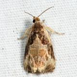 2787 – Bunchberry Leaffolder Moth – Olethreutes connectum