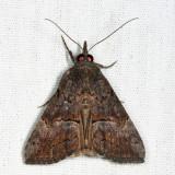 8465 - Green Cloverworm Moth - Hypena scabra
