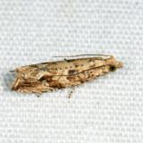 2706 – Bactra furfurana