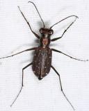 Punctured Tiger Beetle - Cicindela punctulata