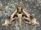 7859 - Pandorus Sphinx - Eumorpha pandorus