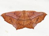 6982 - Large Maple Spanworm - Prochoerodes lineola