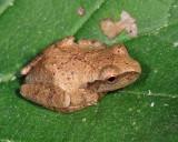 Spring Peeper - Pseudacris crucifer