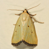 9044 -  Black-bordered Lemon Moth - Marimatha nigrofimbria