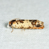 2951 – Phaneta ornatula