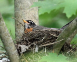American Robin - Turdus migratorius (on nest)