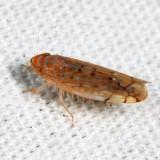 Leafhoppers genus Osbornellus
