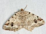 6344 - Pale-marked Angle - Macaria signaria