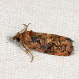 2738 – Verbena Bud Moth – Endothenia hebesana