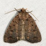 9650 – Slowpoke Moth – Athetis tarda