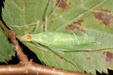 Narrow-winged Tree Cricket - Oecanthus niveus