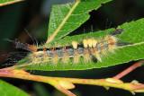 8308 - Rusty Tussock Moth - Orgyia antiqua
