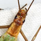 Pine Tree Cricket - Oecanthus pini