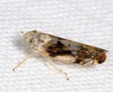 Scaphoideus intricatus