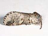 7939 – WesternFurcula - Furcula occidentalis