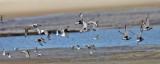 Black-bellied Plover & other shore birds