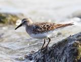 Shorebirds - genus Calidris