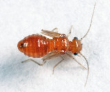 Anomopsocus amabilis (nymph)