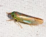 Chlorotettix galbanatus