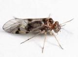 Indiopsocus alticola?