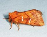 9482 - Osmunda Borer - Papaipema speciosissima