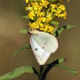 White form female Clouded Sulphur - Colias philodice