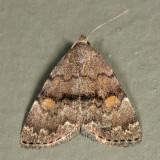 8323 – Common Idia Moth – Idia aemula