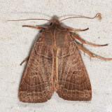 9950 -  Silky Sallow - Chaetaglaea sericea