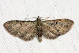 7474 - Common Eupithecia - Eupithecia miserulata
