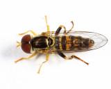 Toxomerus geminatus (male)