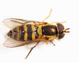 Epistrophella sp. (female)