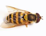 Syrphus ribesii (female)