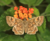Texas Powdered Skipper - Systasea pulverulenta