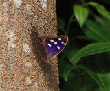 Florida Purplewing - Eunica tatila