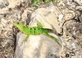 Yucatan Reptiles 2013