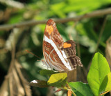Band-celled Sister - Adelpha fessonia