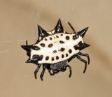 Spinybacked Orbweaver - Gasteracantha cancriformis