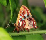 Carousing Jewelmark - Anteros carausius
