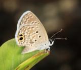 Ceraunus Blue - Hemiargus ceraunus