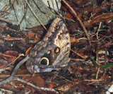 Yellow-fronted Owl Butterfly - Caligo telamonius