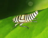 Agrosoma placetis (nymph)